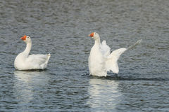 White goose swimming on a lake with its wings outstretched. Two white goose swimming on a lake with its wings outstretched royalty free stock image