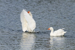 White goose swimming on a lake with its wings outstretched. Two white goose swimming on a lake with its wings outstretched stock photography