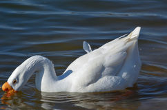 White Goose Swimming in Pond. White goose swimming in Keene, Texas stock image