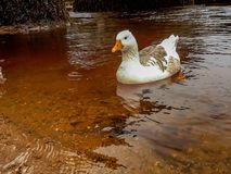 White Goose Swimming in a River - Close Up stock images