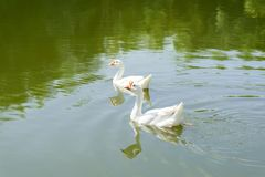 White goose swimming in the river. Two white goose swimming together in the river stock photography