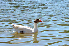 White Goose Swimming. On a sunny day Stock Image