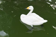 White Goose swimming on water in a transparent lake. Green water royalty free stock photos