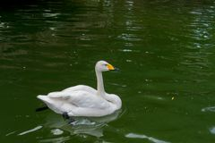 White Goose swimming on water in a transparent lake. Green water stock photos