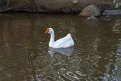 The white goose swims alone along the muddy river near the shore stock photography