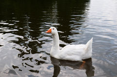 White goose swims in the lake. White goose on the background of the dark waters of the lake royalty free stock images