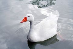 The white goose swims in the river in summer noon