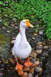 White goose. Walk on the ground royalty free stock photo