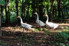 White goose walking in a garden. Group of white goose walking in a garden, poultry life stock photography