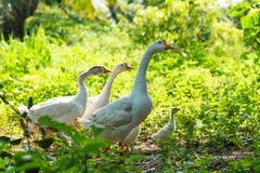 White goose walking in a green garden. Portrait of white goose walking in a green garden, poultry life stock photos