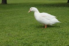 White goose walking on a meadow. White goose on a meadow stock photography