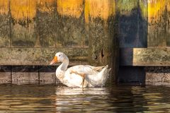 White Goose on the loose royalty free stock images