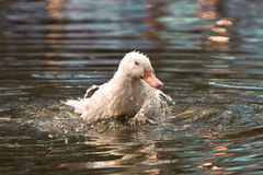 White goose washing in pond Stock Image