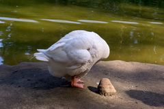 White goose with white wings. Standing near the lake cleans its feathers in the Novosibirsk zoo, Russia stock photo