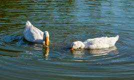 White goose wildlife animals couple in the lake stock images