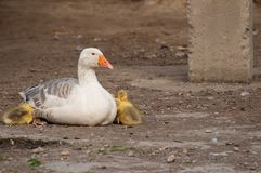 White goose with yellow cubs in the yard.Domestic animal.Outdoor. White goose with yellow cubs in the yard.Domestic animal small feather spring gosling bird new stock images