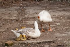 White goose with yellow cubs in the yard.Domestic animal.Outdoor. White goose with yellow cubs in the yard.Domestic animal small feather spring gosling bird new stock photography