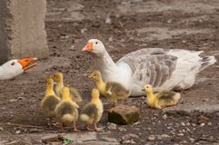 White goose with yellow cubs in the yard.Domestic animal.Outdoor. White goose with yellow cubs in the yard.Domestic animal small feather spring gosling bird new royalty free stock photos
