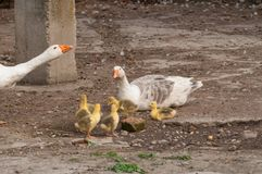White goose with yellow cubs in the yard.Domestic animal.Outdoor royalty free stock photos