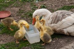 White goose with yellow cubs in the yard.Domestic animal.Outdoor royalty free stock photography