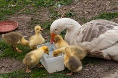 White goose with yellow cubs in the yard.Domestic animal.Outdoor stock images