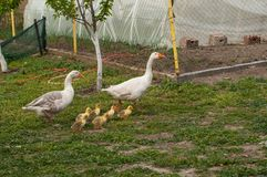 White goose with yellow cubs in the yard.Domestic animal.Outdoor. White goose with yellow cubs in the yard.Domestic animal small feather spring gosling bird new stock photos
