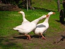 White gooses Stock Photos