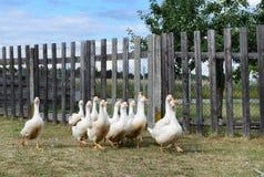 White gooses Stock Image