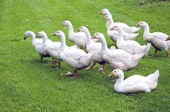 White gooses party on green grass Stock Photo