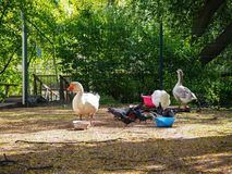 White gooses and pigeons are eating from bowls on the birds yard in the park royalty free stock images