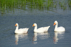 White gooses swimming Stock Photography