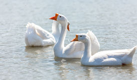 White gooses swimming on river Royalty Free Stock Photos