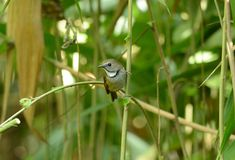White-gorgetted Flycatcher (Ficedula monileger) Stock Photography