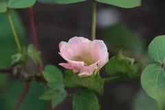White gossypium spp flower royalty free stock photos