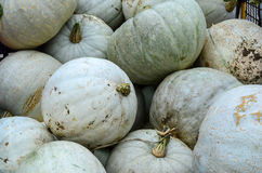 White gourds. Background - full frame of white gourds, ready for sale Royalty Free Stock Photos