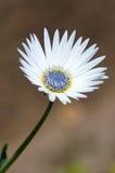 White gousblom, or african daisy (arctotis). White wonderful flower close up Royalty Free Stock Photography