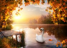 Swan on autumn river stock images