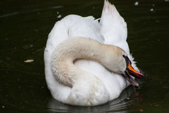 White graceful swan. Swan makes bathing ritual at lunchtime, a hot summer day Stock Photos