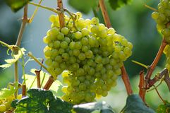 White grape. In a winyard Royalty Free Stock Image