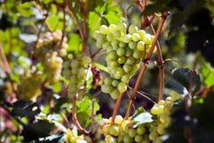 White grape Royalty Free Stock Image