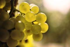 The white grape. Close up Stock Photos