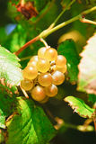 White grape Albariño Stock Image