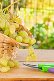 White grape in basket and secateurs on wooden table in vineyard Stock Image