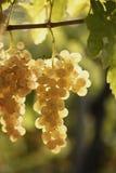 White grape. Bounch of italian white grape stock image