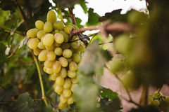 White grape bunch hanging on the branch Royalty Free Stock Image