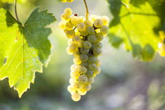 White grape bunch hanging on the vine. In the sunny afternoon Stock Image