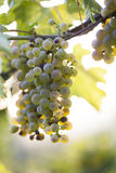 White grape bunch on the vine Stock Image