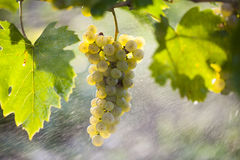 White grape bunch on the vine Stock Photos