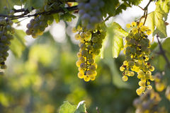 White grape bunch on the vine Royalty Free Stock Photos