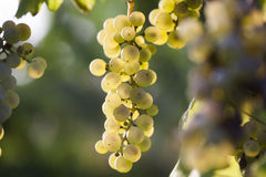 White grape bunch on the vine Royalty Free Stock Image